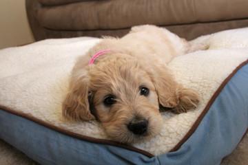 Goldendoodle Puppy Dog