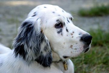 setter inglese cane da caccia