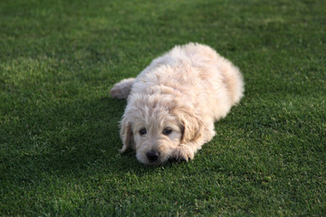 Goldendoodle Puppy Dog on Grass
