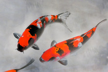 Calico Koi vattenfärgillustration