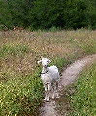 White goat on meadow