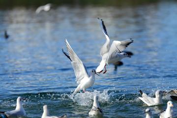 Białe ptaki, mewy na wodzie.