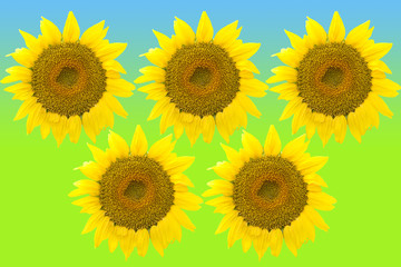 Five large sunflowers isolated on color background.