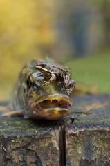 pike and frog
