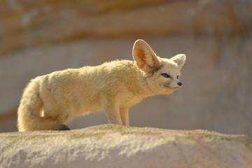 Dsert Fox