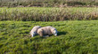 Two sheep sleeping close to each other