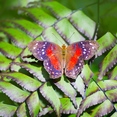Butterfly Red Peacock Anartia Amathea