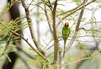 Beautiful Plum-headed Parakeet in Jim Corbett