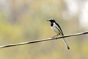 Beautiful White-browed wagtail