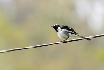 White-browed wagtail with fluffy feathers