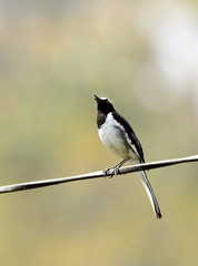 White-browed wagtail sitting on a wire