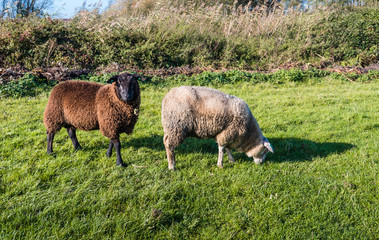 Two woolly sheep in different colors
