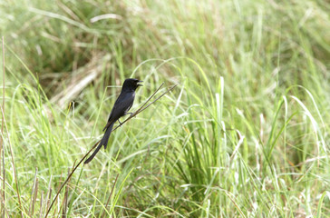 Black Drongo perched on the grass of Dhikala