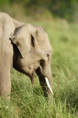 Juvenile tusker in the grassland of Dhikala