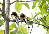 A pair of Rufous Treepie etching at the same time poster