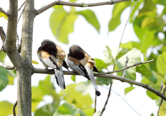 A pair of Rufous Treepie etching at the same time