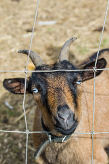 Goat looking through fence wire