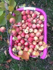 organik bahçe elması
