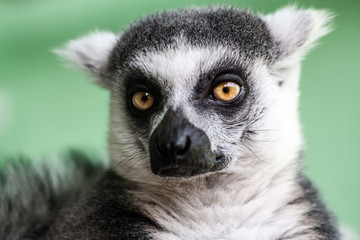 Beauty lemur portrait, abstract natural background