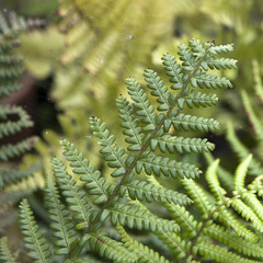 Center of fern leaf in Thailand - selective focus