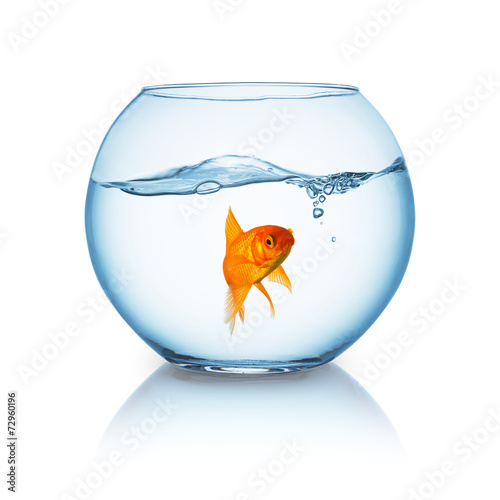 Goldfish floating in fishbowl - 72960196