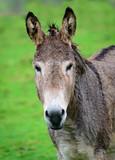 Wet Donkey head shot