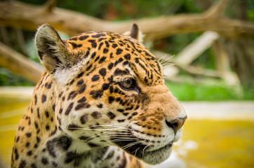 closeup portrait of beautiful jaguar outdoors