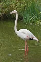 Close up of pink flamingo bird isolated