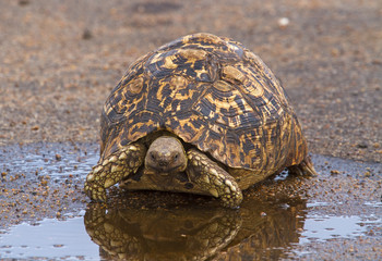 Leopard Tortoise Near Water Puddle