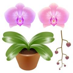Phalaenopsis orchid illustration