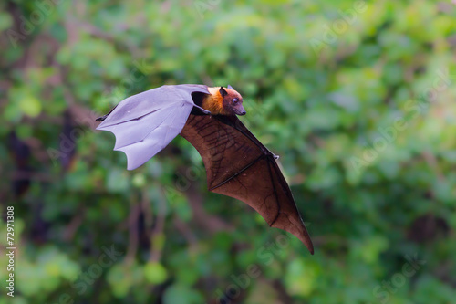 Tuinposter Kip Flying Lyle's flying fox (Pteropus lylei)