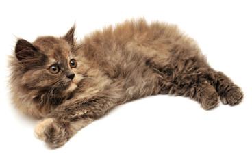 Beautiful persian little kitten