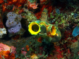 Sea squirt, Island Bali, Tulamben