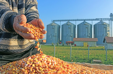Corn grains in a hand of successful farmer