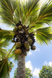 Постер, плакат: Crop of Coco de Mer coconuts on a palm tree