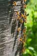 Obrazy na płótnie, fototapety, zdjęcia, fotoobrazy drukowane : Apiculture - Bees