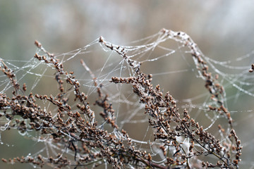 branch with spider cobweb and dew drops nature background