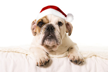young little French Bulldog cub on bed in Christmas Santa hat