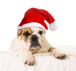 little French Bulldog dog cub on bed with Christmas hat