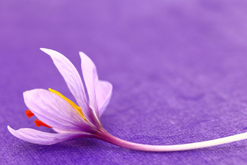 Close up of saffron flowers on purple background