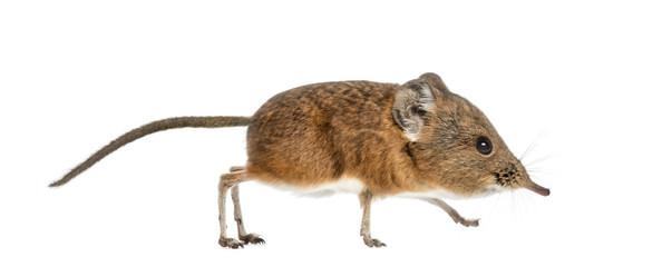 Elephant shrew - Macroscelides proboscideus - isolated on whitre