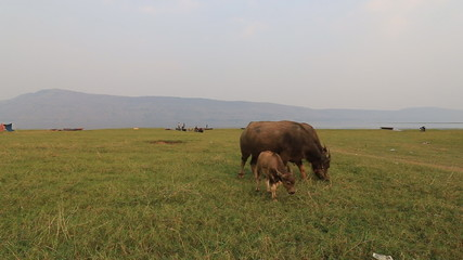 water buffalo eat fresh grass and walk in field