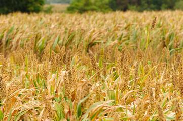 Sorghum field in Kinmen, Taiwan