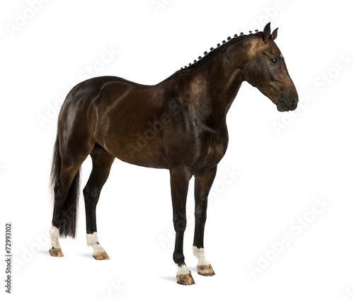 canvas print picture KWPN - Dutch Warmblood, 3 years old - Equus ferus caballus