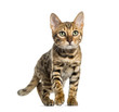 canvas print picture - Young Bengal cat (5 months old), isolated on white