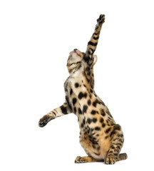 Young Bengal cat on hind legs and pawing (5 months old)
