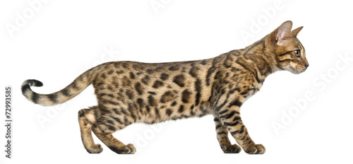 Young Bengal cat (5 months old), isolated on white - 72993585