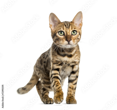 canvas print picture Young Bengal cat (5 months old), isolated on white