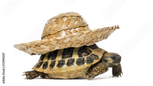 canvas print picture Hermann's tortoise, isolated on white
