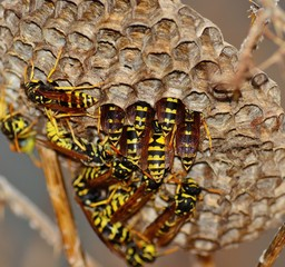 Group of wasps inside the nest